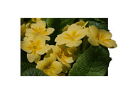 Smilin Eyes  Treasures - Yellow Primrose Flowers