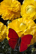 Red Bouquet Posters - Yellow Ranunculus and Red Butterfly Poster by Garry Gay