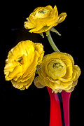 Yellow Posters - Yellow Ranunculus in red vase Poster by Garry Gay