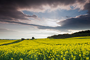 Yellow Rapeseed Field Beautiful Print by Boon Mee