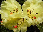 Nikon D90 Prints - Yellow Rhodies Print by Ronda Broatch