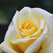 Penny McClintock - Yellow Rose - 1