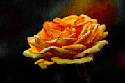 Single Rose Stem Photos - Yellow Rose 1 by Alexander Senin