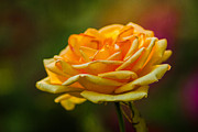 Single Rose Stem Photos - Yellow Rose 2 by Alexander Senin