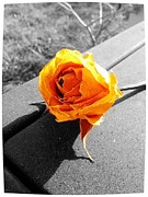 Lee Farley Prints - Yellow Rose 3 Print by Lee Farley