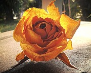 Lee Farley Prints - Yellow Rose 4 Print by Lee Farley