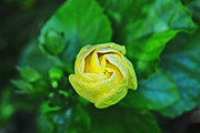 Yellow Rosebud Photos - Yellow Rose Bud by Lisa Cortez