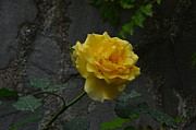 Dany Lison - Yellow Rose