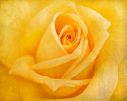 Darren Fisher - Yellow Rose