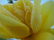 Judyann Matthews - Yellow Rose First Frost