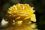 Yellow Rose Flood Print by Steve Purnell