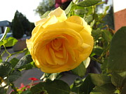 Elisabeth Ann - Yellow Rose In The...