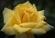 Yumi Johnson - Yellow Rose in the Rain