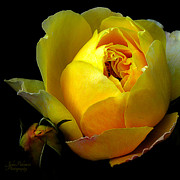 Yellow Rose Print by Julie Palencia