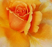 Struckle Framed Prints - Yellow Rose Framed Print by Kathleen Struckle
