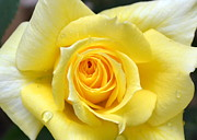 Closeup Prints - Yellow Rose l Print by Michelle Calkins
