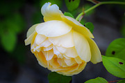 Laurel Butkins - Yellow Rose