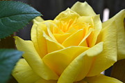 Closeup Prints - Yellow Rose ll Print by Michelle Calkins