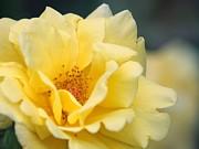 Yellow Rose Macro Print by Carol Groenen