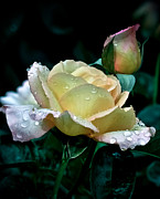 Morning Dew Posters - Yellow Rose Morning Dew Poster by Julie Palencia
