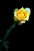 Nick Mares - Yellow Rose