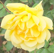 Michaline  Bak - Yellow Rose of Arizona