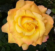 Julie Koretz - Yellow rose of friendship