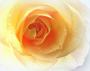 Yellow Rose Of Heaven Print by  The Art Of Marilyn Ridoutt-Greene