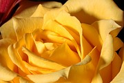 Bouquet Prints - Yellow Rose of Texas Print by Joe Kozlowski