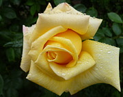 Lingfai Leung - Yellow Rose Say GoodBye