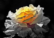 Yellow Rose Series - ...but Soul Is Alive Print by Lilia D