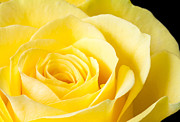 Stephen Cordory - Yellow rose