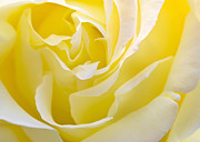 Macro Prints - Yellow Rose Print by Svetlana Sewell