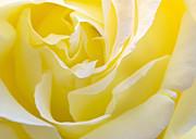 Yellow Rose Print by Svetlana Sewell