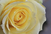 Teresa Thomas - Yellow Rose