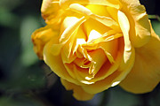 Tony Murtagh - Yellow rose