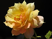 Blossom Photos - Yellow Rose by Zulfiya Stromberg
