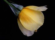 Carol Welsh - Yellow Rosebud