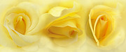 Botanicals Framed Prints - Yellow Roses Triptych Panel Framed Print by Jennie Marie Schell