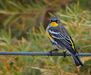 Rump Posters - Yellow-Rumped Warbler Poster by Bob Ellis
