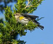 Bruce Colin - Yellow rumped Warbler