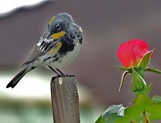 Song Bird Photos - Yellow rumped warbler by Helen Carson