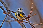 Yellow-rumped Warbler Print by Larry Trupp