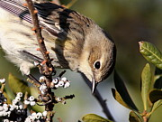 Travis Truelove Photography Prints - Yellow-rumped Warbler - Precious Print by Travis Truelove