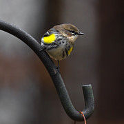 Robert L Jackson - Yellow-Rumped-Warbler