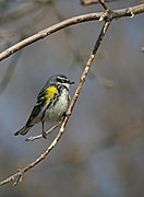 Stephen Thomas - Yellow-rumped Warbler