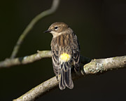Portrair Posters - Yellow Rumped warbler Poster by Tim Rutz