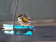William Presley  - Yellow Rumped Warbler