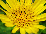 Yellow Flowers Posters - Yellow Salsify Flower Poster by Christina Rollo