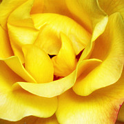 William Dey Photography Posters - YELLOW SAPPHIRE ROSE Palm Springs Poster by William Dey